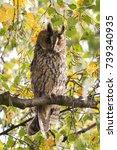 northern long eared owl in a... | Shutterstock . vector #739340935