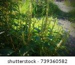 Small photo of Amaranthus blitum flower.
