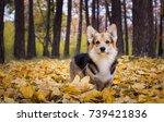 dog breed welsh corgi pembroke... | Shutterstock . vector #739421836