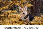 dog breed welsh corgi pembroke... | Shutterstock . vector #739421842