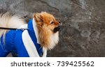 Small photo of The panorama of small wear,dress spitz is barking. Aggressive concept