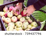 Man Stores The Harvested Apple...