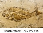 Fish fossil. Prehistoric fossil fish enclosed in stone rock.