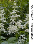 Small photo of White inflorescence with white flowers of the Fingerleaf Rodgersia aesculifolia