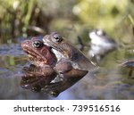 a couple of brown frogs is...   Shutterstock . vector #739516516