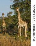 giraffa  kruger national park | Shutterstock . vector #739518202