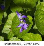 viola odorata  a species of the ... | Shutterstock . vector #739541392