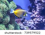 Small photo of The Powder Brown Tang (Acanthurus japonicus) is a type of tang (surgeonfish) from the Indo-West Pacific. It is a popular tropical fish among marine aquarium enthusiasts.