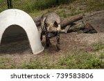 striped hyena called hyaena... | Shutterstock . vector #739583806