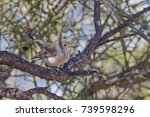 Small photo of Inland Thornbill (Acanthiza apicalis)