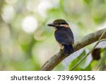Small photo of The rufous-collared kingfisher (Actenoides concretus) is a species of bird in the Alcedinidae family. It is found in Brunei, Indonesia, Malaysia, Myanmar, Singapore, and Thailand.