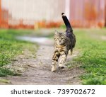 Stock photo striped funny cat quickly runs down the path a green meadow in summer 739702672