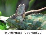 veiled chameleon  | Shutterstock . vector #739708672