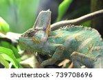 veiled chameleon  | Shutterstock . vector #739708696