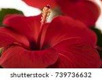 Hibiscus Flower. Red Hibiscus...