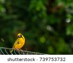 pretty small bird with black... | Shutterstock . vector #739753732