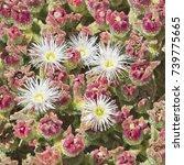 Mesembryanthemum Crystallinum ...