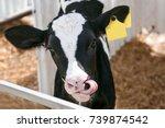 The calf looks
