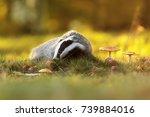 european badger with autumn... | Shutterstock . vector #739884016