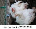 chicken poultry farm.white... | Shutterstock . vector #739895536