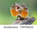 chlamydosaurus kingii  frill...   Shutterstock . vector #739998265