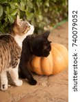 Stock photo funny cute kittens are playing with a pumpkin halloween party black kitten and a tricolor cat 740079052