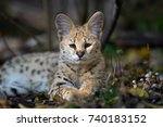 Close Young Serval Cat  Felis...