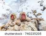 Snow Monkeys Japanese Macaques...