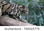 Clouded Leopard Standing On Tree