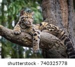 Clouded Leopard Stare