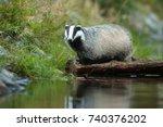 european badger is standing on... | Shutterstock . vector #740376202