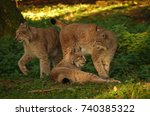 group of lynxes chilling in the ...   Shutterstock . vector #740385322