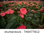 anthurium flowers  | Shutterstock . vector #740477812