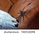 Scary Wolf Spider Inside House...