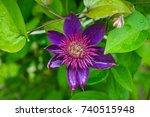 "blooming clematis ""multi blue""... | Shutterstock . vector #740515948"
