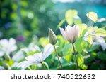 blooming clematis in the garden.... | Shutterstock . vector #740522632