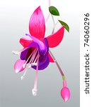 Vector Fuchsia Flower And Buds...