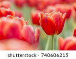 Beautiful Red Tulips  Darwin...
