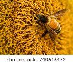 Honey Bee Sucking Nectar From...
