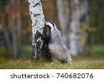 european badger  meles meles ... | Shutterstock . vector #740682076