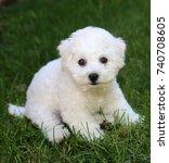 Stock photo bichon frise puppy week old bichon puppy bichon puppy in grass 740708605
