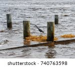 A Little Blue Heron In The...