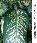 Small photo of green aglaonema leaf pattern