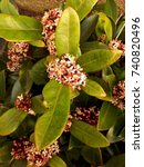 Small photo of Skimmia Japonica Rubella Flower