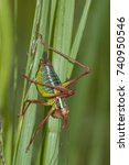 Small photo of Ephippigera ephippiger colorful grasshopper on green plant, Gladiolus imbricatus. A beautiful colorful temperate Orthoptera from Europe.