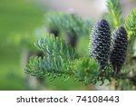 Korean Fir   Cones Green Nature