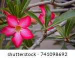 the pink flowers that are jolly ... | Shutterstock . vector #741098692
