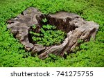 Dry Trunk Of Tree With Green...