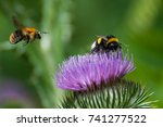 bumble bee on a purple blooming ... | Shutterstock . vector #741277522