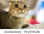 portrait of a thoroughbred cat... | Shutterstock . vector #741374128